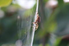 Trädgårds- spindel för Araneusdiadematus Arkivbild