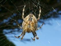 trädgårds- spindel för common Royaltyfria Foton