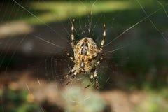 trädgårds- spindel för common Royaltyfri Foto