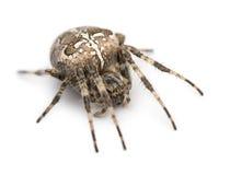 Trädgårds- spindel för europé, Araneusdiadematus Royaltyfri Bild