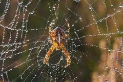 trädgårds- spindel för european royaltyfri foto
