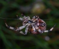 trädgårds- spindel för european Royaltyfria Foton