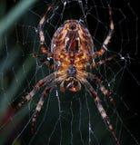 trädgårds- spindel för european Arkivfoton