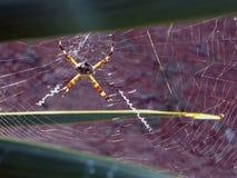 Trädgårds- spindel för silver Royaltyfri Foto