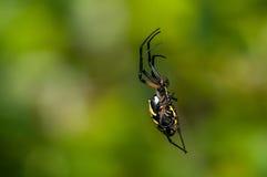 Trädgårds- spindel för svart och för guling Arkivbilder