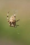 Trädgårds- spindel i rengöringsduk Royaltyfri Foto