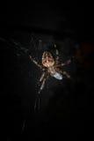 Trädgårds- spindel, korsspindel, arg spindel eller krönad orbväv Arkivfoto