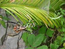 Trädgårds- spindel och gräshoppa Arkivbilder