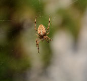 Trädgårds- spindel på en rengöringsduk Royaltyfri Fotografi