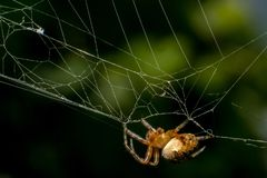 Trädgårds- spindel på rengöringsduken royaltyfria bilder