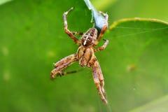 Trädgårds- spindel som abseiling från ett blad Arkivbild