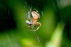 Trädgårds- spindel som anfaller nyckelpigan Royaltyfri Bild