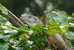 Trädgårds- staket Lizard (leguanleguanen) Arkivbild