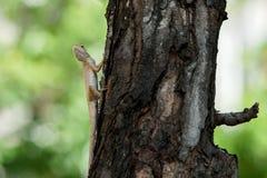 Trädgårds- staket Lizard på ett träd som bort ser Arkivfoton