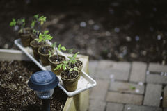Trädgårds- startknappar Arkivbild