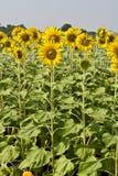 trädgårds- sun för blomma Royaltyfria Bilder