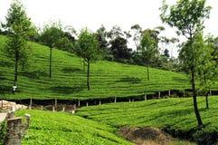 trädgårds- tea Arkivfoto