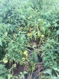 Trädgårds- tomater Arkivfoton