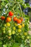 trädgårds- tomater för Cherry Fotografering för Bildbyråer