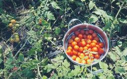 Trädgårds- tomatskörd Arkivfoto