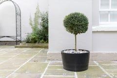 Trädgårds- träd för Topiary i en kruka med den dekorativa kiselstengrundstandinen Arkivfoton