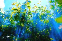 Trädgårds- träd i sommarljus fotografering för bildbyråer