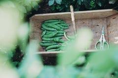 Trädgårds- Trug med sax och nya ärtor arkivfoton