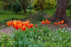 trädgårds- tulpan Arkivbild