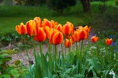 trädgårds- tulpan Royaltyfria Foton