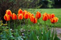 trädgårds- tulpan Arkivfoto