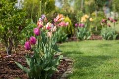 trädgårds- tulpan royaltyfri bild