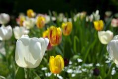 trädgårds- tulpan Royaltyfria Bilder