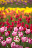 Trädgårds- tulpan Royaltyfri Fotografi