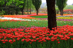 trädgårds- tulpan Arkivbilder