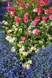 Trädgårds- tulpan för engelska fotografering för bildbyråer