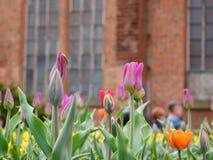 Trädgårds- tulpan och kyrka för röd tegelsten bakom Royaltyfri Bild