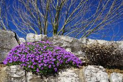 Trädgårds- vägg med blå aubretia och det kala trädet arkivfoto