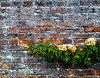 Trädgårds- vägg och rosor Arkivbild