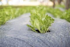 Trädgårds- växa för isberggrönsallat i grönt hus Royaltyfri Bild