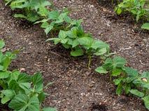 trädgårds- växande grönsaker Arkivfoto