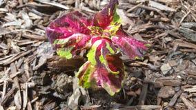 Trädgårds- växt för blomma Royaltyfria Bilder