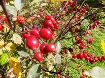 Trädgårds- växt för rött bär Arkivbilder