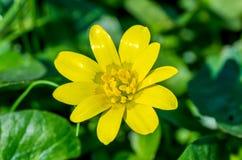 Trädgårds- vårblomma Royaltyfri Bild