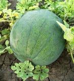 trädgårds- vattenmelon Arkivbilder