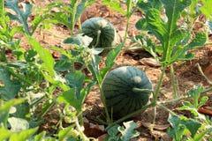 trädgårds- vattenmelon Arkivfoto