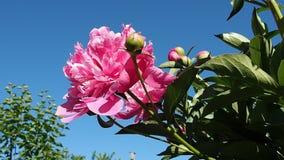 Trädgårds- vinka för pionbuske stock video