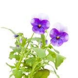 trädgårds- viola Royaltyfri Fotografi