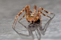 Trädgårds- Wolf Spider med reflexion Fotografering för Bildbyråer