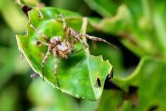 Trädgårds- Wolf Spider som lockar spindeln från en annan rengöringsduk Arkivfoto