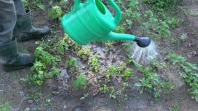 Trädgårdsmästareörtkännaren som bevattnar bespruta ung citronbalsam, spirar stock video